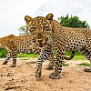 Leopards | Zambia