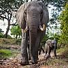 Elephants   Zambia