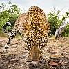 Leopard | Zambia