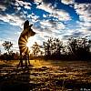 African Wild Dog | Zimbabwe