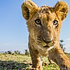 Lion Cub | Kenya