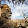 Lion | Tanzania