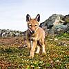 Ethiopian Wolf Pup | Ethiopia