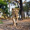 Lioness | Zambia