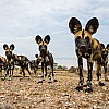 African Wild Dogs | Zambia