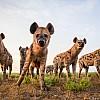 Hyenas | Zambia