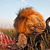Lion | Kenya