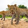 Leopards | Zambia