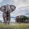 Elephants | Zambia