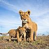 Lions | Tanzania