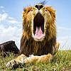 Yawning Lion | Kenya