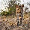 Leopard Cub | Zambia
