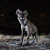 Hyena | Zambia