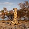 Cheetah | Zambia