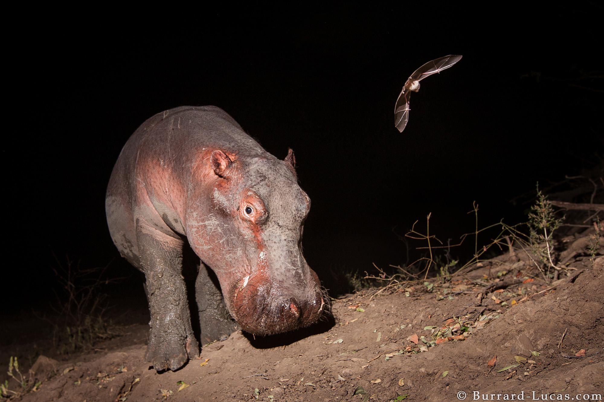 Hippo and Bat