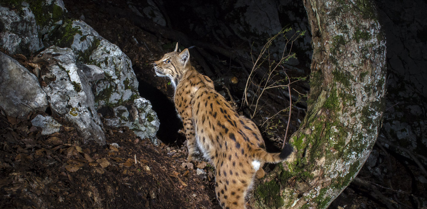 Laurent Geslin – Lynx in the Jura Mountains