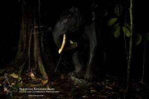 African Forest Elephant (Loxodonta africana cyclotis) juvenile bull in tropical rainforest, Lope National Park, Gabon