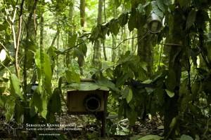 Camera trap set-up in tropical rainforest in Uganda