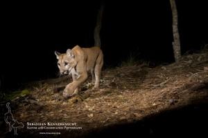 North American Cougar (Puma concolor couguar) sub-adult female walking at night, Aptos, Monterey Bay, California
