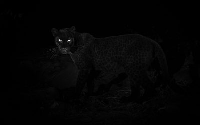 Black Leopard: Quest to photograph the most elusive cat in Africa