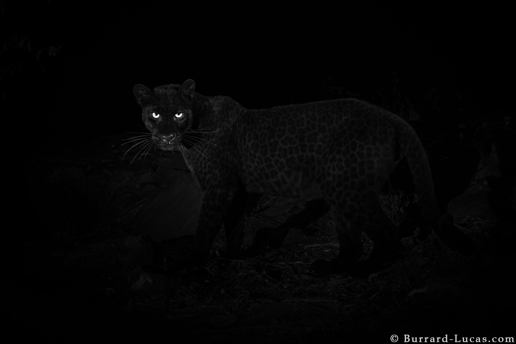 d45fe55779818 Black Leopard: My quest to photograph the most elusive cat in Africa ...